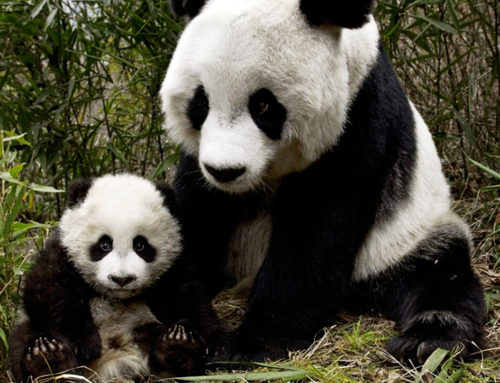 La China del Oso Panda
