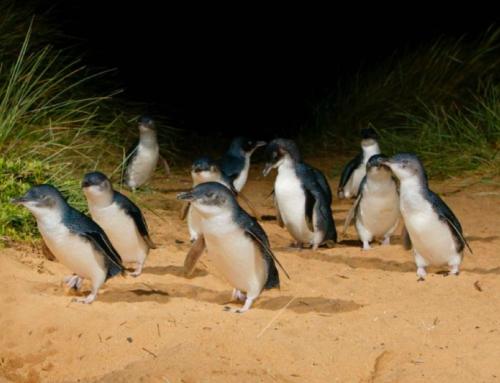 Penguin Parade – Pingüinos volviendo a casa al atardecer
