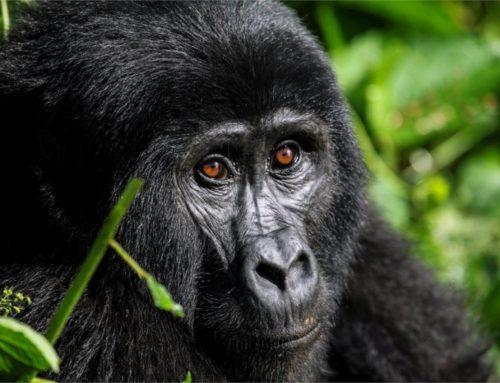 GORILAS Y CHIMPANCÉS EN UGANDA