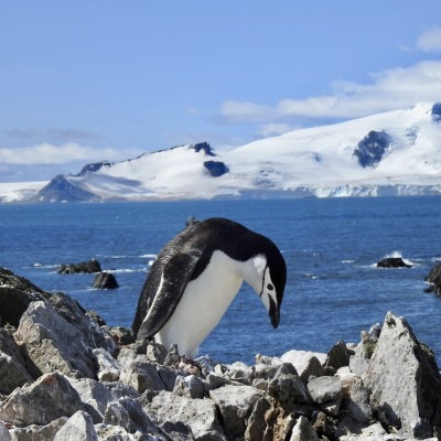 pingüino barbijo buscando comida